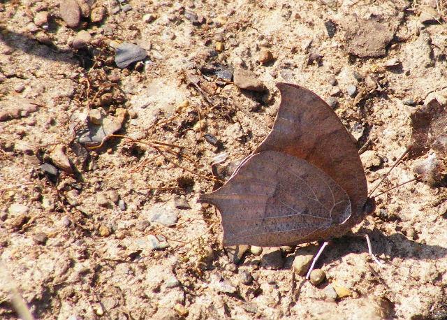 Goatweed Leafwing — Devil's Den State Park — March 27, 2008