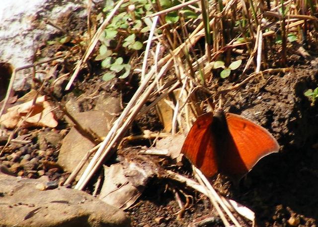 Goatweed Leafwing — Devil's Den State Park, Arkansas — March 27, 2008