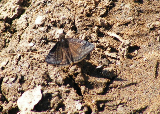 Sleepy Duskywing — Devil's Den State Park, Arkansas — March 27, 2008