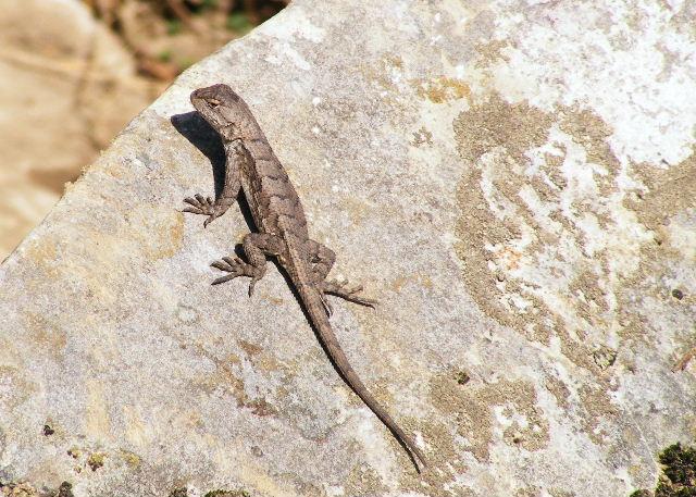 Eastern Fence Lizard — Devil's Den State Park, Arkansas — March 27, 2008