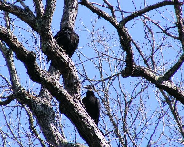 Black Vultures — Devil's Den State Park