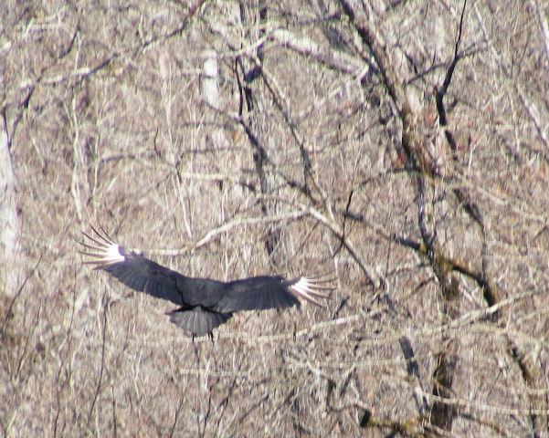 Black Vulture — Devil's Den State Park, Arkansas