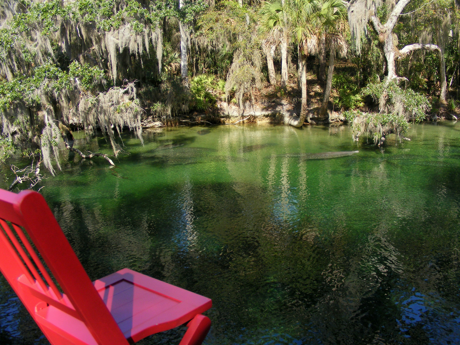 Manatees in Blue Spring Run at Blue Spring State Park, Florida (1/19/13)