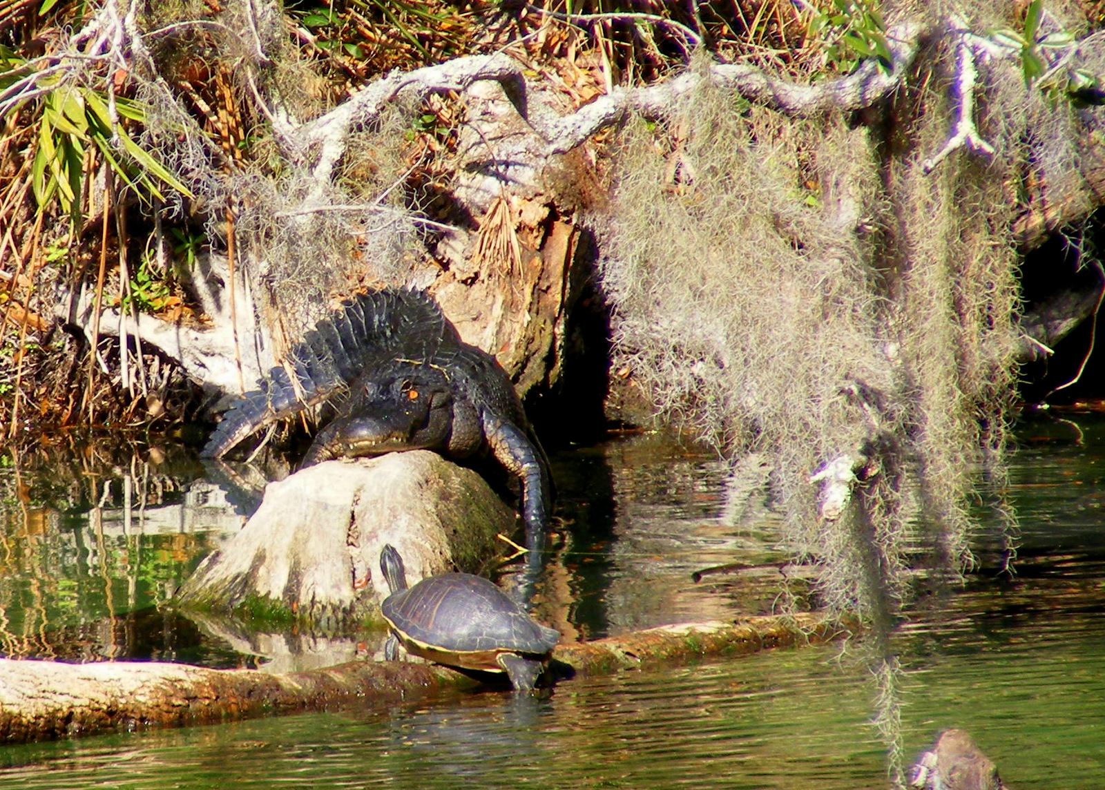 Alligator and turtle along Blue Spring Run