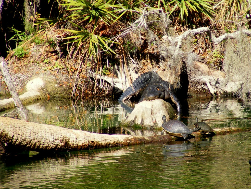 Florida Red-bellied Turtles and an alligator in Blue Spring Run