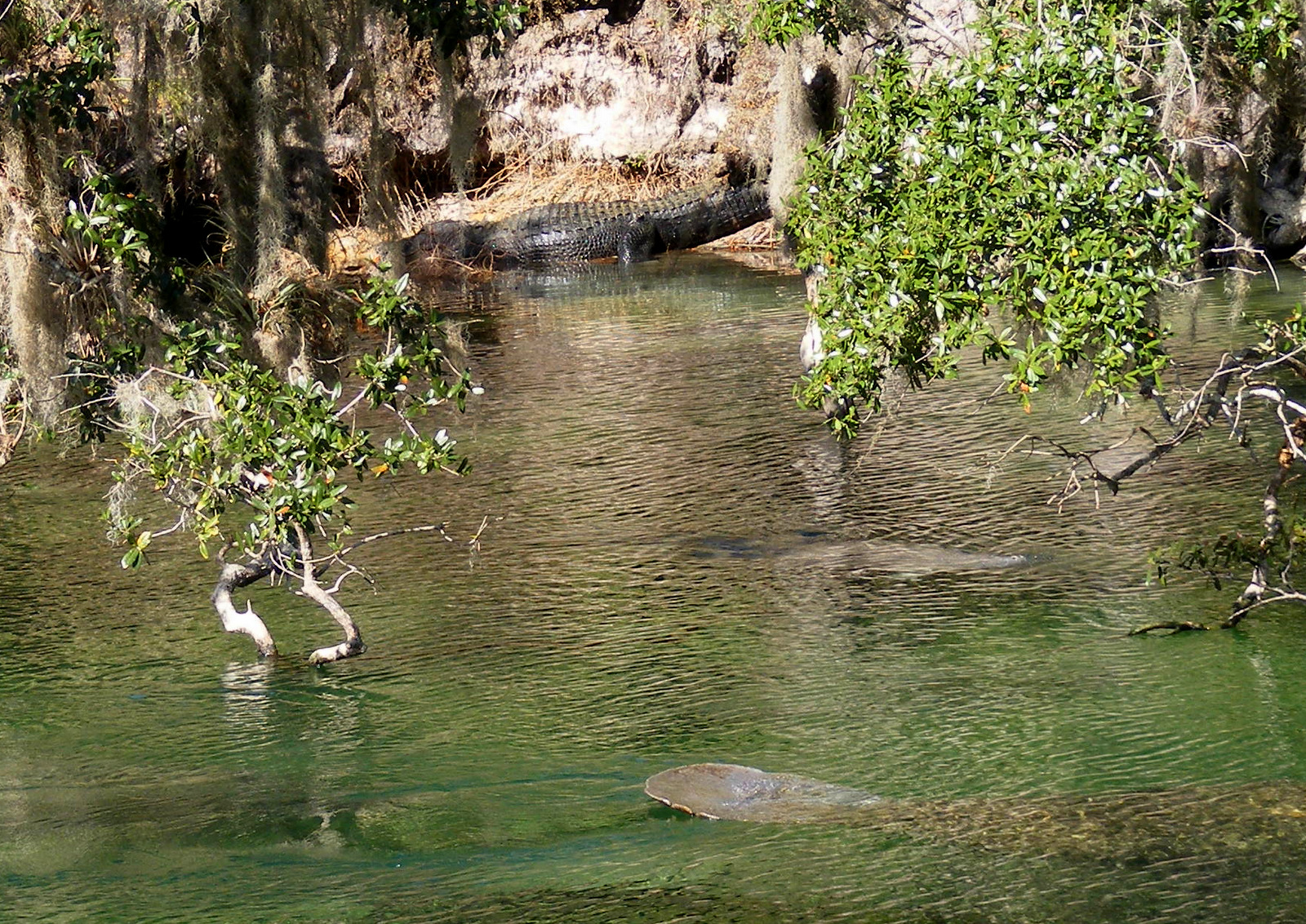 Manatee and alligator