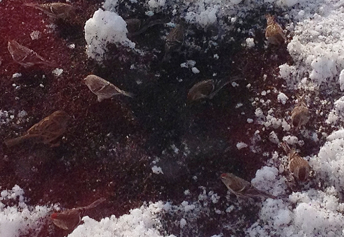 Redpolls, with a Hoary in the middle of the flock