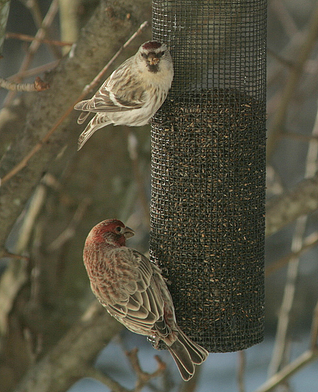 Hoary Redpoll (top) and a House Finch