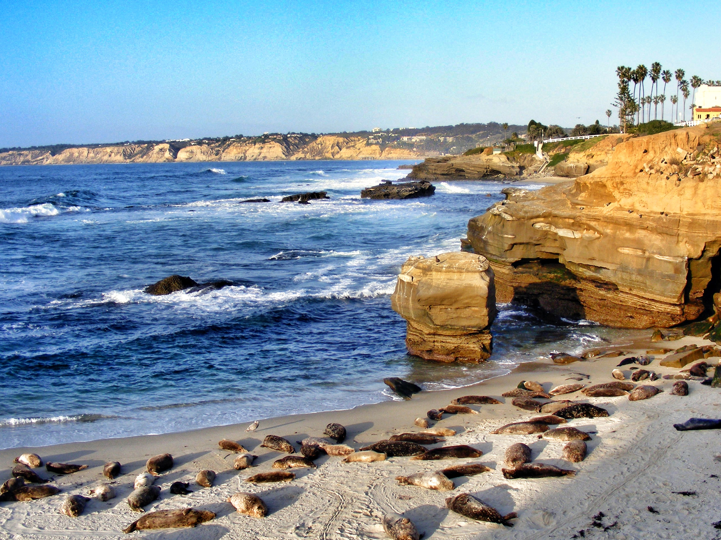 Casa Beach in La Jolla with Harbor Seals in the foreground and the rocks with the sea lions in the middle distance