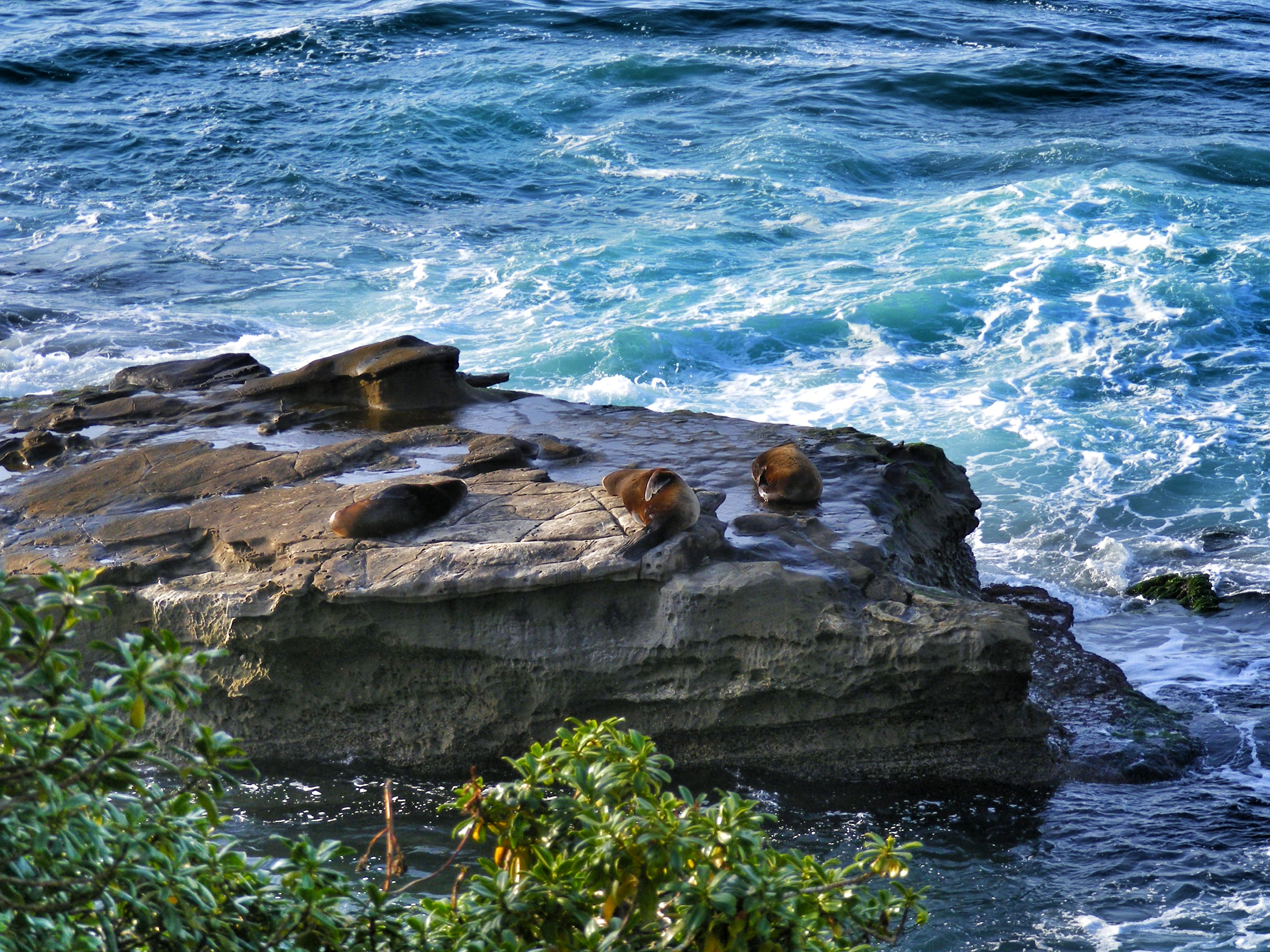 Sea Lions at Casa Beach in La Jolla