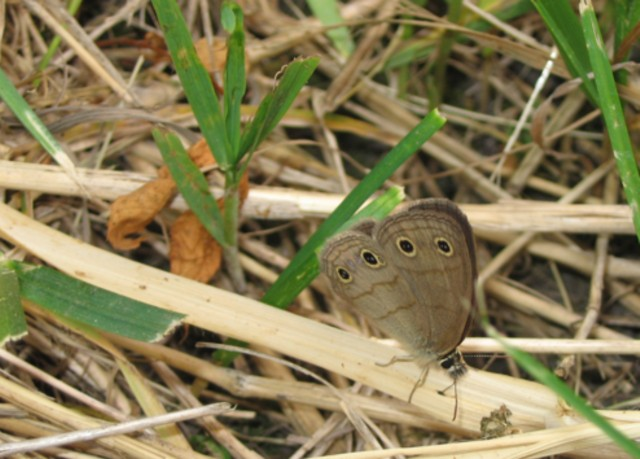 Little Wood-Satyr at Hickory Grove
