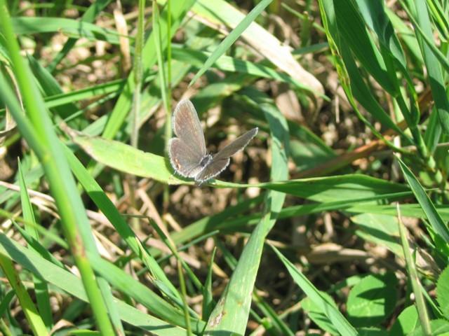 Eastern Tailed Blue, Nachusa Grasslands, June 11, 2007