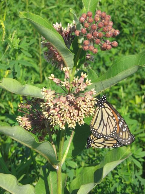 Monarchs on milkweed