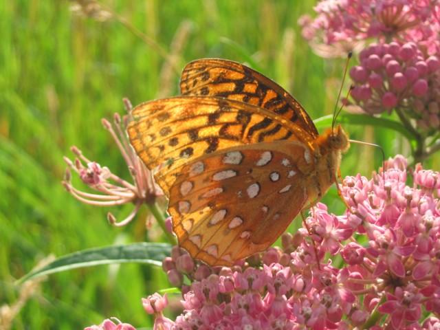 Great Spangled Fritillary - Lyon's Prairie 7/15/07