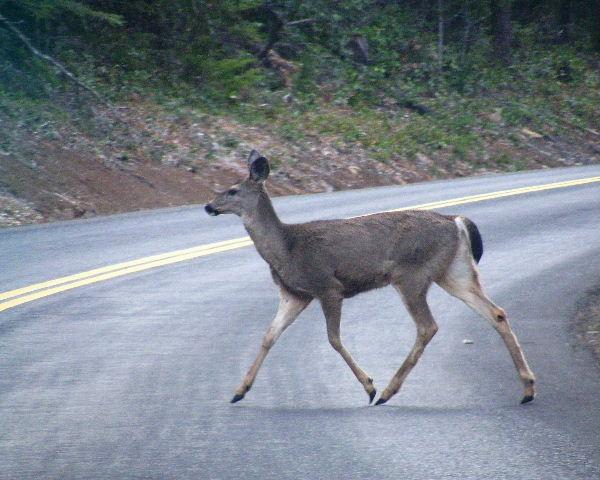 Mule Deer - Lost Lake Road southwest of Dee, Oregon