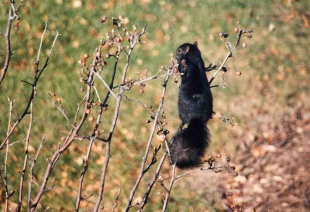 Eastern Gray Squirrel - black phase