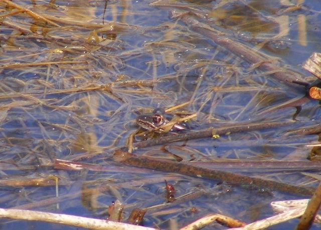 Western Chorus Frog - March 22, 2009 - Fel-Pro