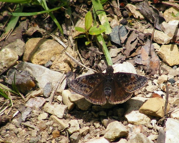 Juvenal's Duskywing - The Hollows - May, 2008