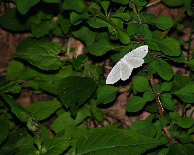 Moth - Lyon's Prairie - June, 2008