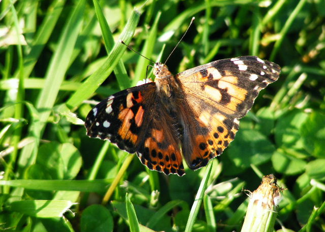 Painted Lady - Hickory Grove - June, 2008