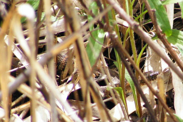 Northern Water Snake - The Hollows - May, 2008