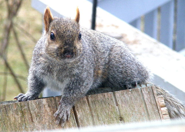 Eastern Gray Squirrel - 3/08