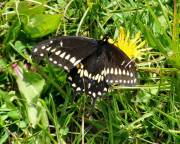 Black Swallowtail - Hickory Grove - May, 2008