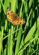 Pearl Crescent - Hickory Grove - May, 2008