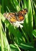 Pearl Crescent - Hickory Grove - June, 2008