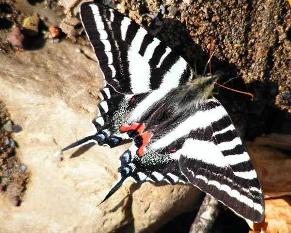 Zebra Swallowtail — Devil's Den State Park, Ark — 3/27/08