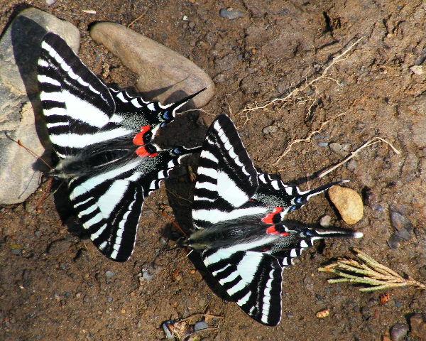 Zebra Swallowtails — Devil's Den State Park, Ark — 3/27/08